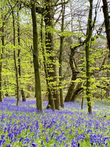 Bluebell forests in England